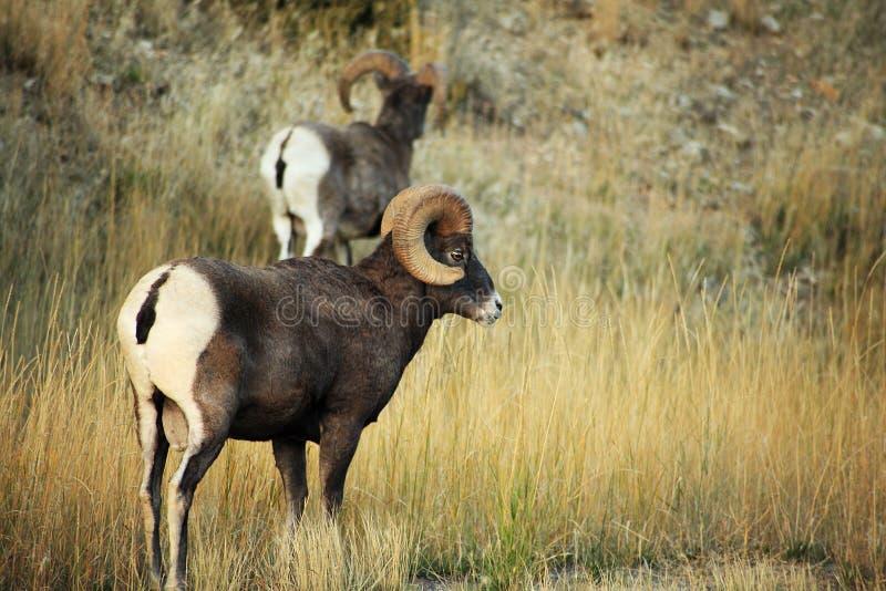 Ram del Bighorn immagine stock