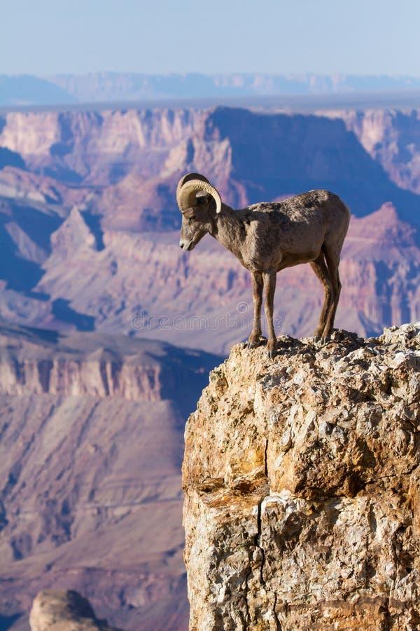 Ram do Big Horn que está em The Edge do Grand Canyon foto de stock royalty free