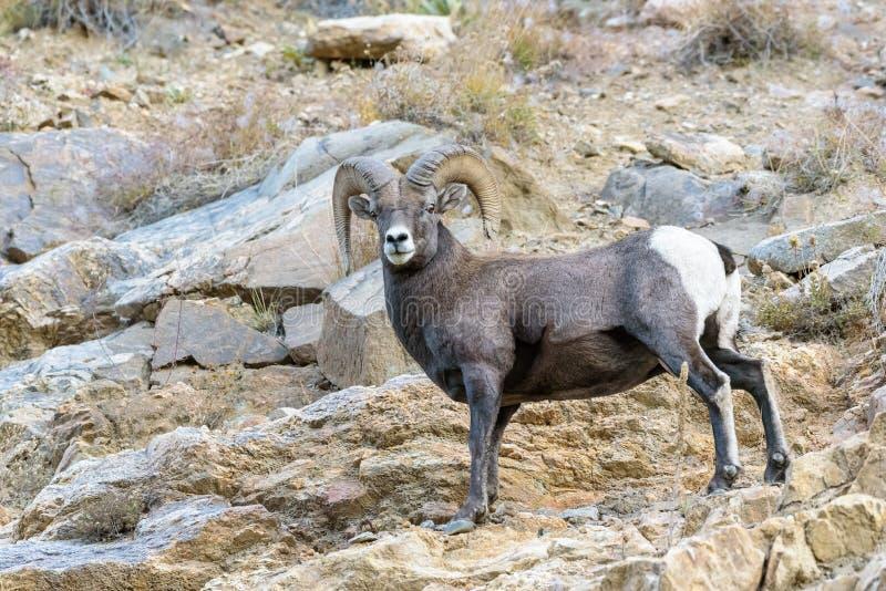 Ram do Bighorn - Colorado Rocky Mountain Bighorn Sheep fotos de stock