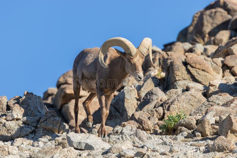 Ram do Bighorn do deserto nas rochas fotos de stock