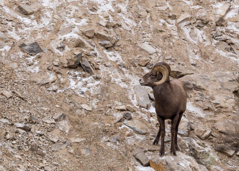 Ram dos carneiros de Bighorn imagens de stock royalty free