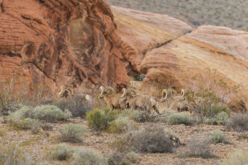 Ram dos carneiros de Bighorn do deserto imagem de stock