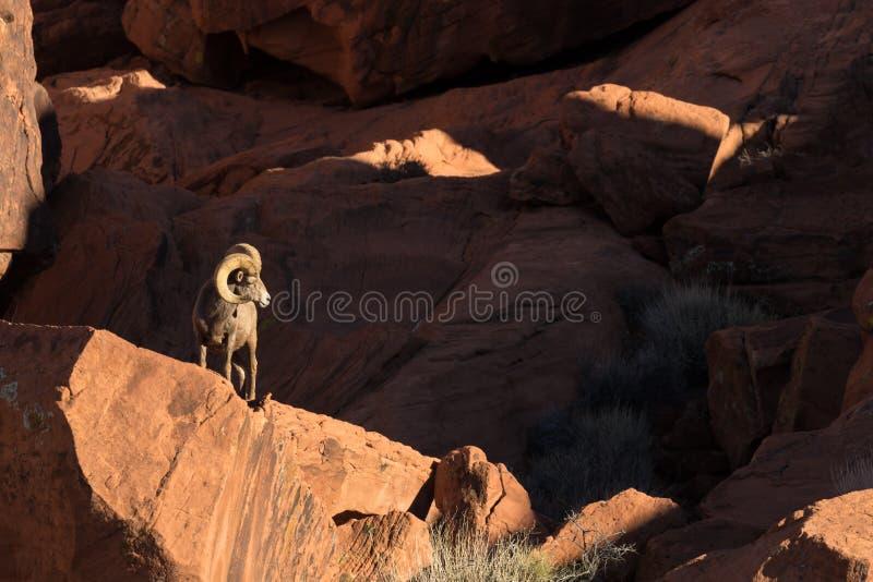 Ram dos carneiros de Bighorn do deserto nas rochas imagem de stock royalty free