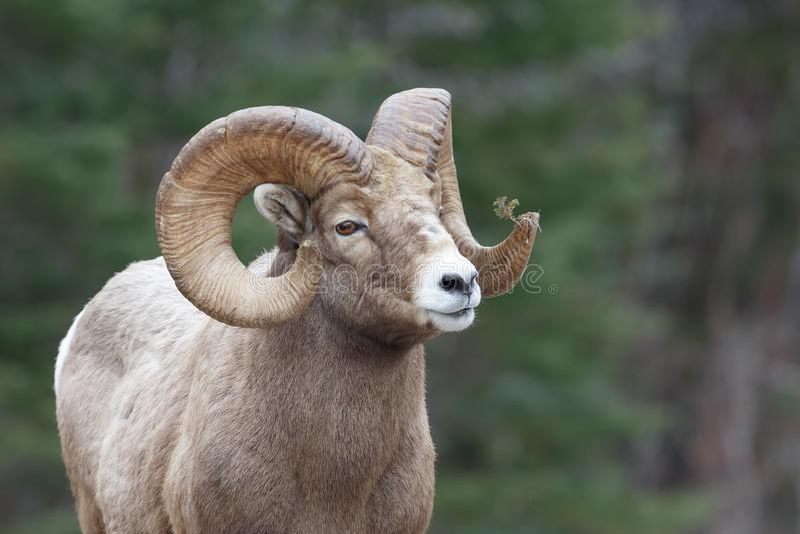 Ram dos carneiros de montanha fotografia de stock royalty free
