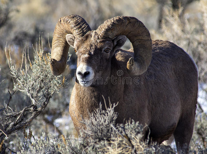 Ram dos carneiros do Big Horn fotos de stock royalty free