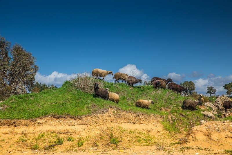 Ram e carneiros em um monte verde foto de stock