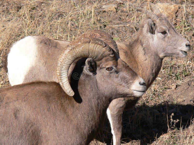 Ram e ovelha grandes dos carneiros do chifre fotos de stock