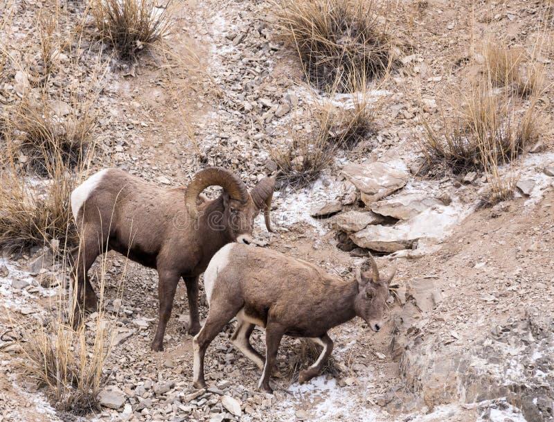 Ram et brebis de mouflons d'Amérique photographie stock
