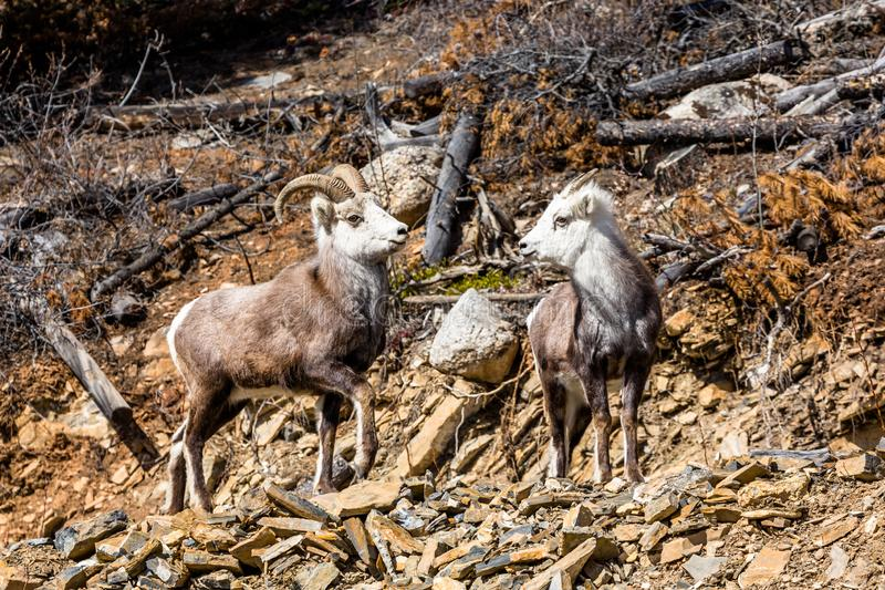 Ram and ewe Stone`s Sheep or Dall`s Sheep in the Yukon Territory of Canada stock images