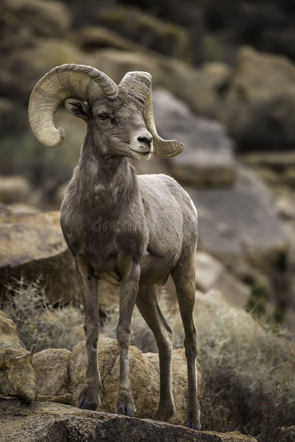RAM för Bighornfår i Joshua Tree National Park fotografering för bildbyråer