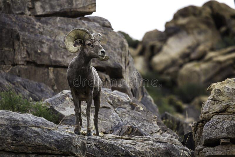 RAM för Bighornfår i Joshua Tree National Park royaltyfria bilder