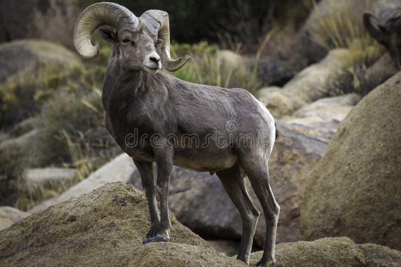 RAM för Bighornfår i Joshua Tree National Park royaltyfri bild