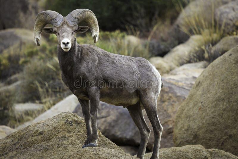 RAM för Bighornfår i Joshua Tree National Park royaltyfria foton