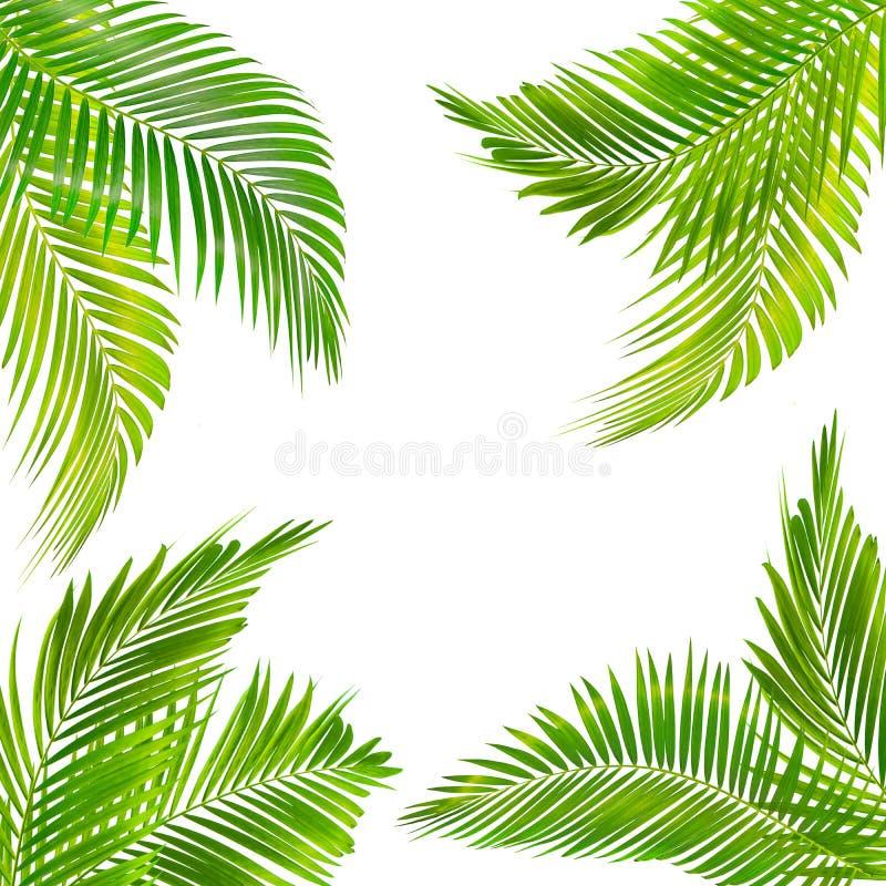 Ram för text som göras från den isolerade gröna palmbladet på vit bakgrund royaltyfri foto