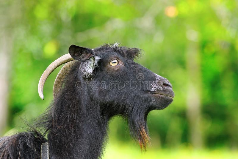 Ram farpada preta fotografia de stock royalty free