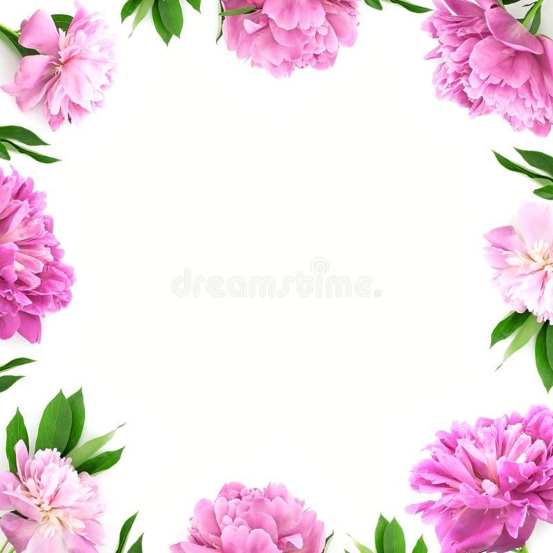 Ram från den rosa pionblomman på vit bakgrund med kopieringsutrymme royaltyfri bild