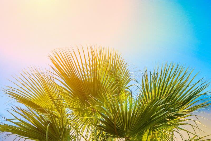 Ram från stora runda spetsiga palmträdsidor på klar bakgrund för blå himmel Guld- rosa Peachy solljus tropisk semester royaltyfria foton