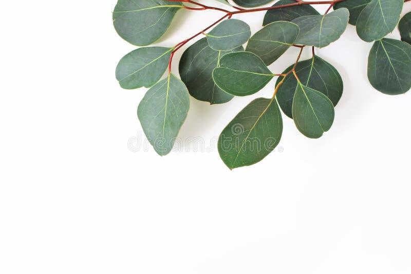 Ram, gräns som göras av gröna eukalyptuspopulussidor, och filialer på vit bakgrund Blom- closeupsammansättning royaltyfria bilder