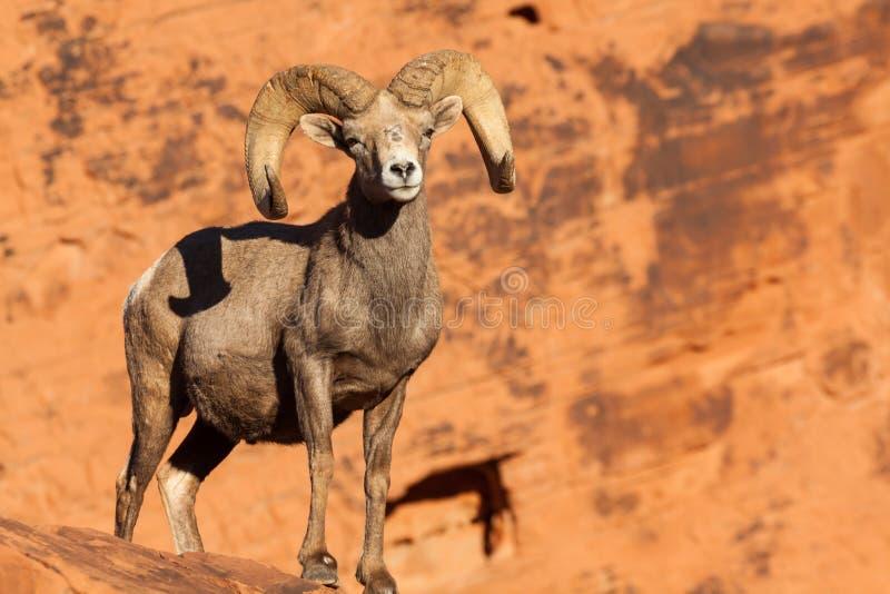 Ram grande dos carneiros de Bighorn do deserto fotografia de stock