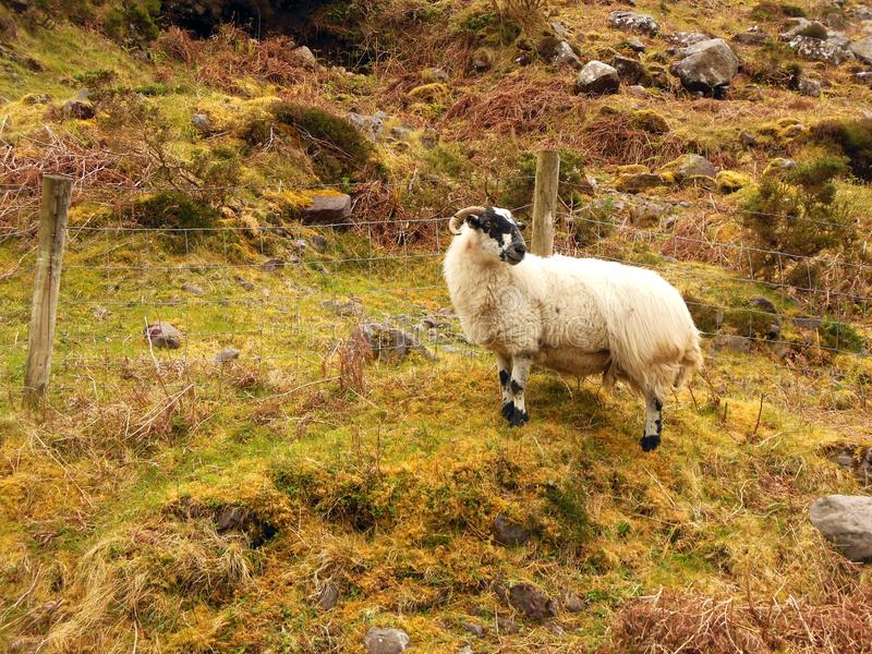 Ram Grazing in Rural Ireland. A lone ram looks for his herd while climbing the grassy hills in rural Ireland stock images