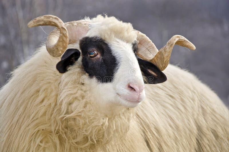 Download Ram head stock photo. Image of domestic, rural, muzzle - 28676678