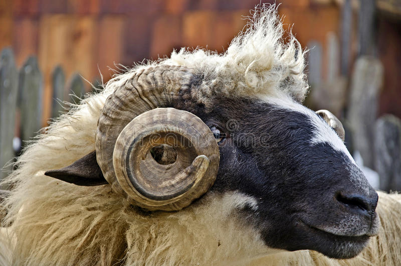 Download Ram head stock image. Image of muzzle, rural, horn, horns - 28676681