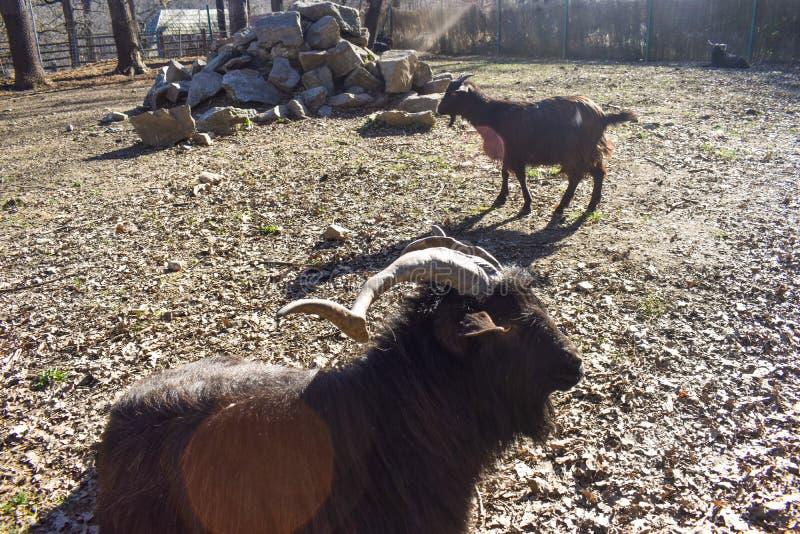 RAM laineuse noire dans l'arri?re cour de la ferme dans une journ?e de printemps ensoleill?e image libre de droits