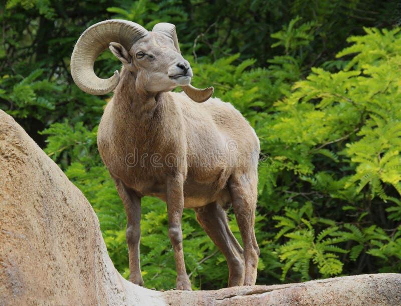 Ram. Male Desert Bighorn Sheep Displaying Huge Curved Horns Against Bright Green Leaf Background stock image