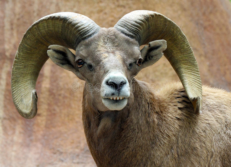 Ram. Male Desert Bighorn Sheep Displaying Huge Curved Horns and Teeth royalty free stock photography