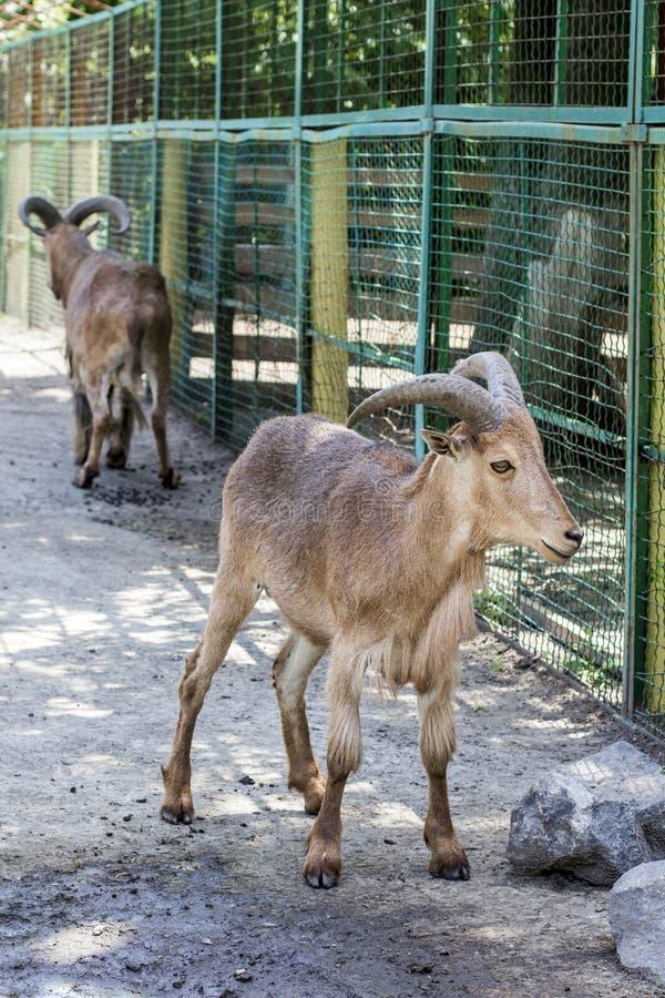 Ram Maned pares de carneiros maned imagem de stock
