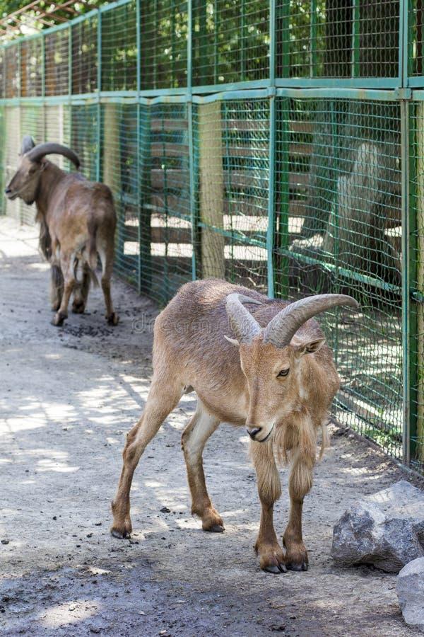 Ram Maned pares de carneiros maned fotos de stock royalty free