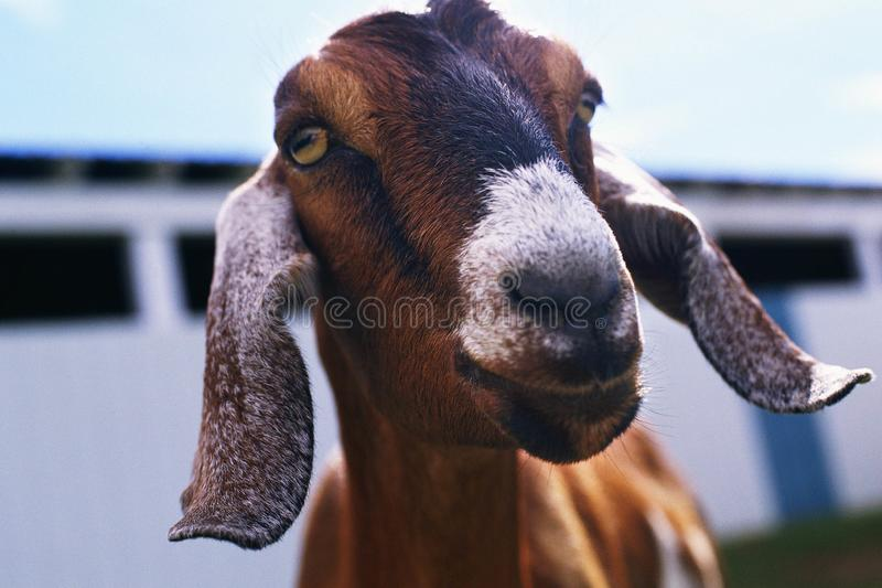 Brown Goat in farm in spring time. Sheep Ram on the meadow in spring time , Sheep - domesticated ruminant animal with a thick woolly coat and typically only in stock photography