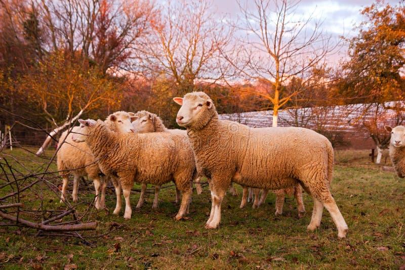Ram met ooien op landbouwbedrijfgebied royalty-vrije stock fotografie