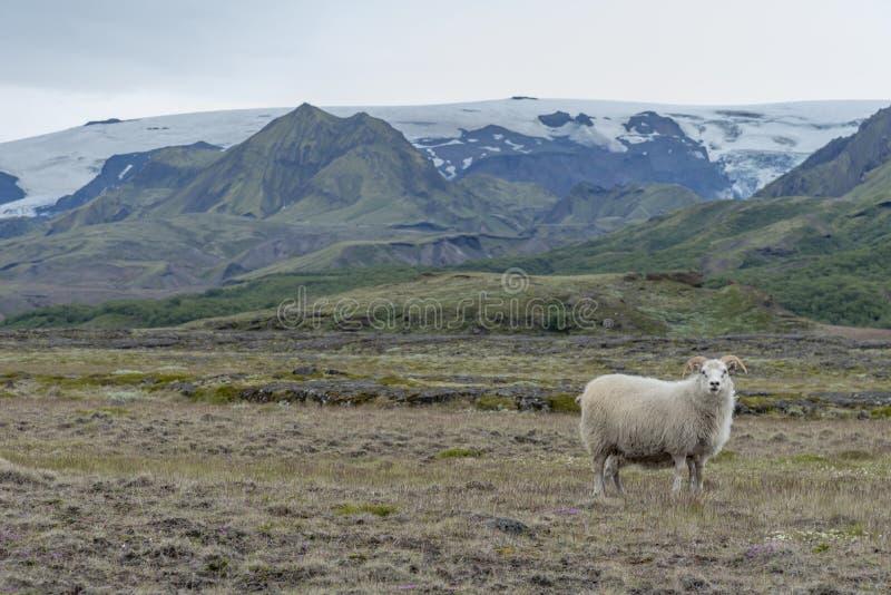 Ram na paisagem islandêsa imagens de stock royalty free
