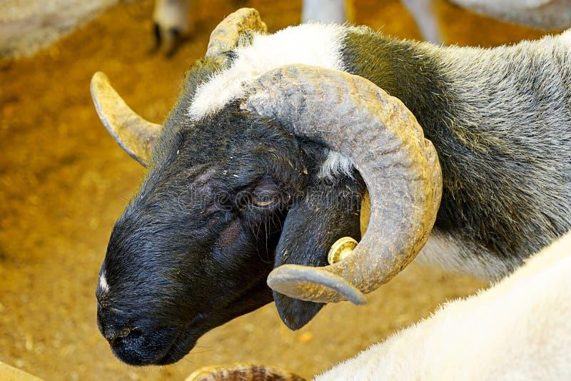 Ram no festival do eid do sacrifício do mercado dos rebanhos animais imagens de stock royalty free
