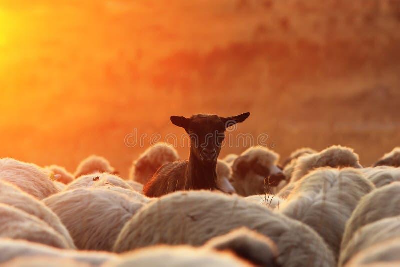 RAM noire de chèvre avec le troupeau de moutons photographie stock