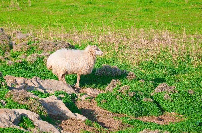 Ram op een rots in de groene weide royalty-vrije stock foto