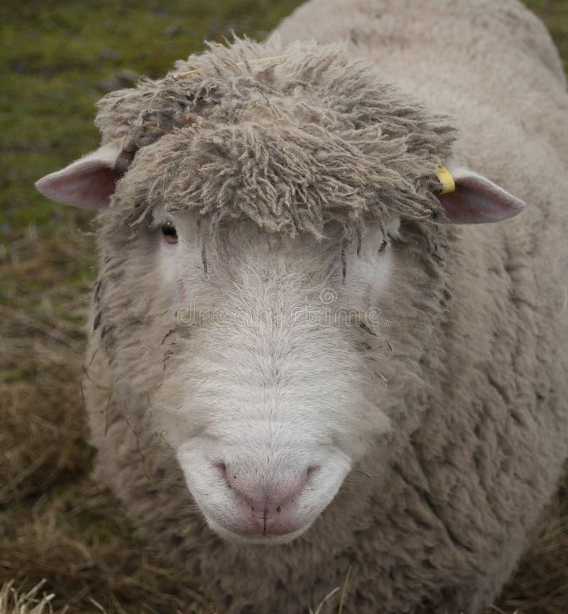 Ram stock photos