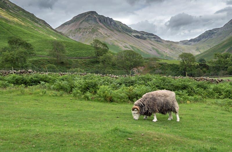 Ram que pasta en el distrito del lago, Cumbria foto de archivo