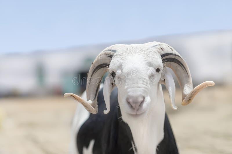 Ram Sahelian com um revestimento preto e branco fotografia de stock royalty free