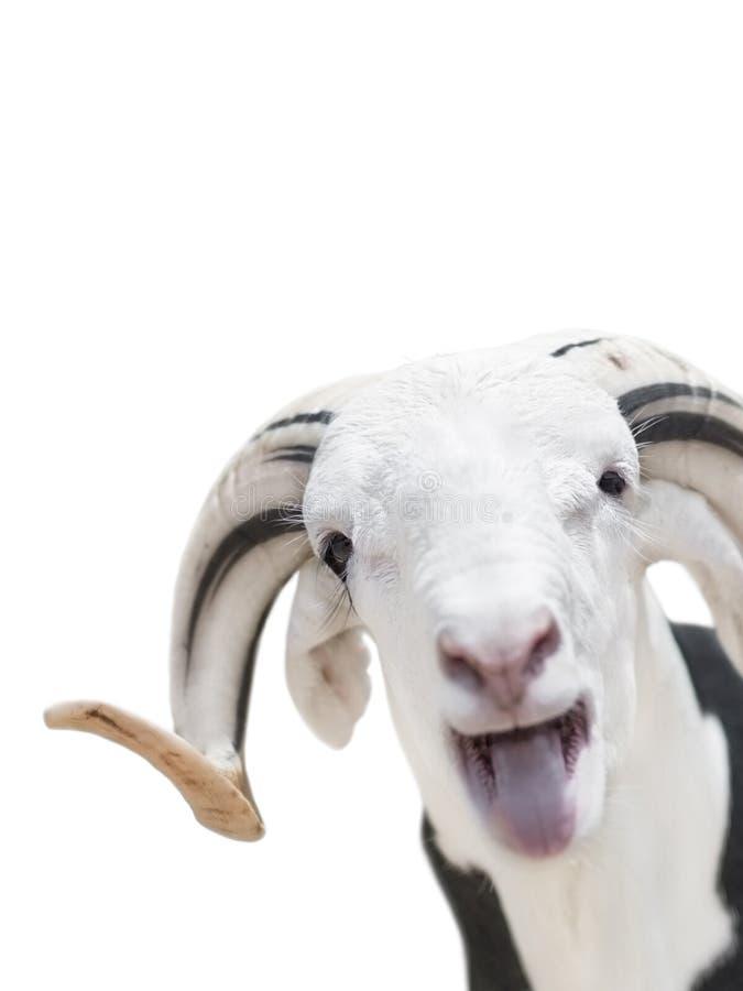 Ram saheliano con un cappotto bianco e nero, isolato immagine stock