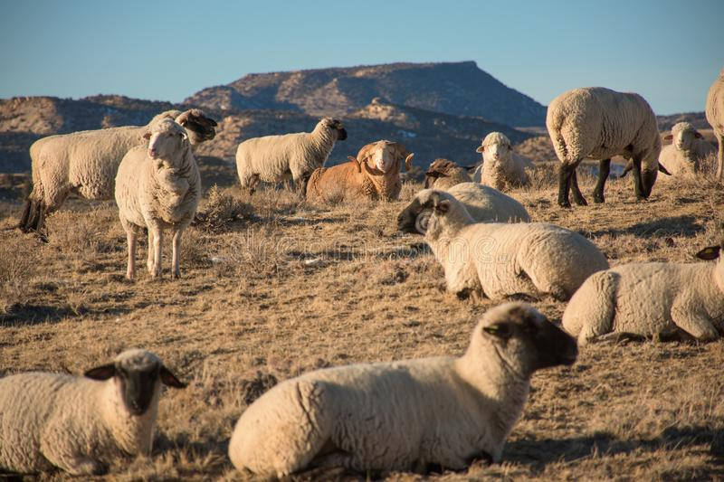 Ram With Sheep Herd In Mountains. Winter stock photography