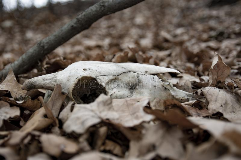 Ram skulls in forest. Animal skull in the autumn forest. A real lamb skull on a foliage background.  stock images