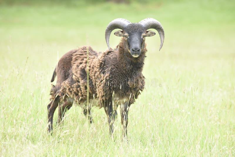 Ram standing alone in a field. Single male sheep stock image