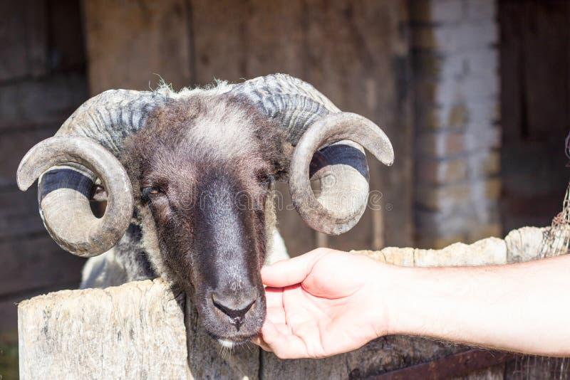 Ram-und Menschen-Hand lizenzfreie stockfotos