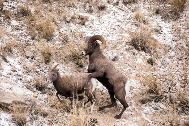 Ram y oveja de las ovejas de Bighorn imagen de archivo