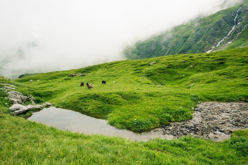 Ram y ovejas que reflejan en corriente de la montaña de la mucha altitud el lunes imagen de archivo libre de regalías