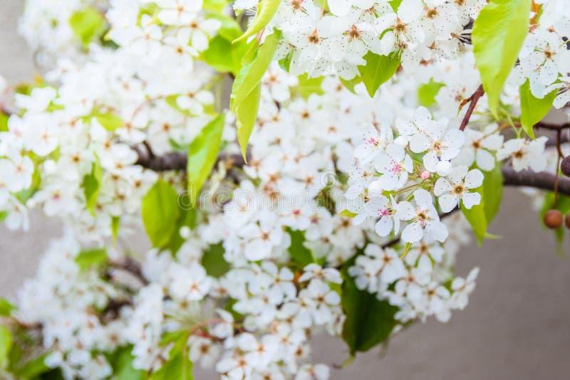 Rama blanca floreciente de Yoshino Cherry en un fondo del muro de cemento imagenes de archivo