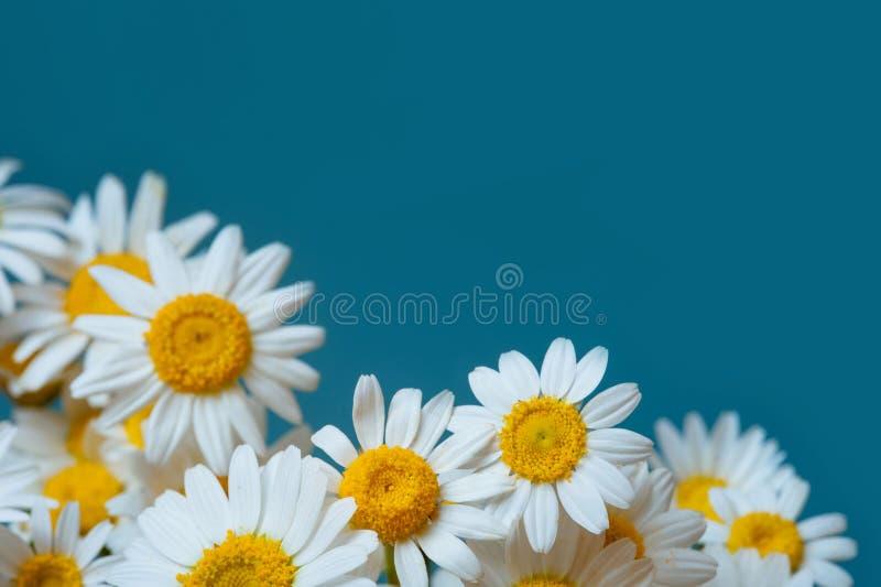 Rama chamomiles, gałąź, liście na błękitnym tle Mieszkanie nieatutowy, odgórny widok zdjęcia stock