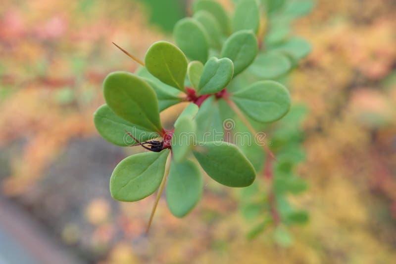 Rama colorida de un arbusto con pequeño leavesin el otoño imágenes de archivo libres de regalías